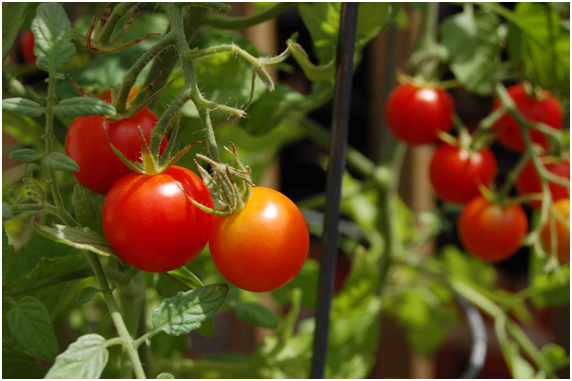 Select Fruits and Vegetables That Give You the Best Yield in a Small Space