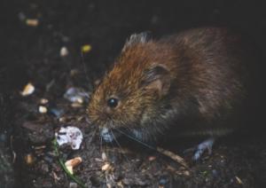 rat rodents oils