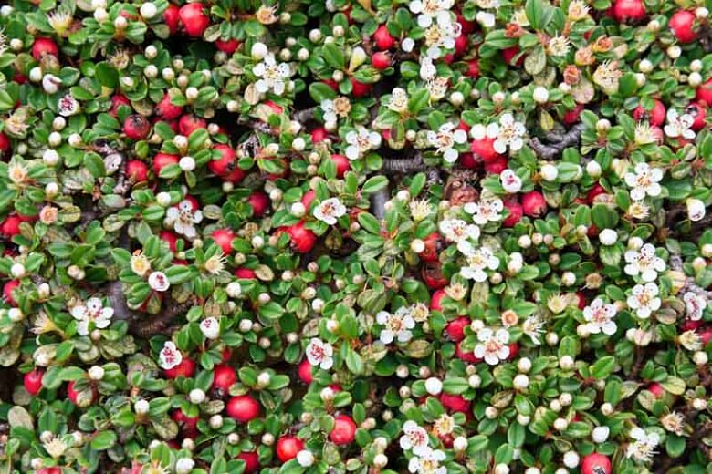 Bearberry Cotoneasters (Cotoneaster Dammeri)