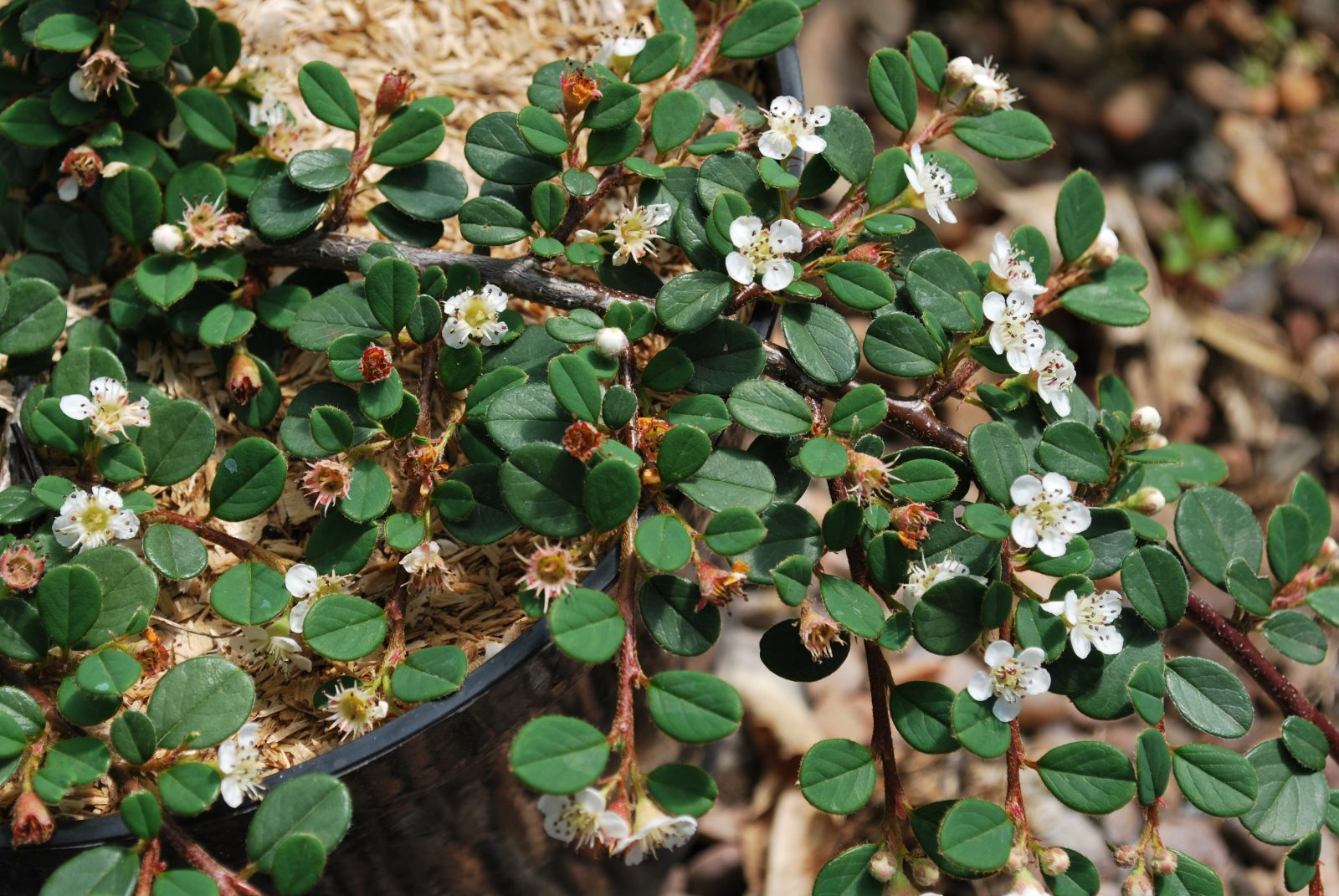 The Queen of Carpets (Cotoneaster Procumbens)